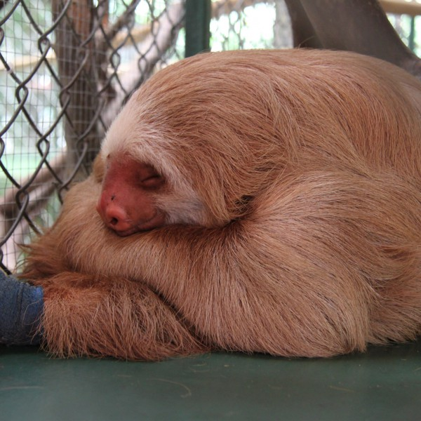 Sloth Sanctuary - Cahuita - Costa Rica