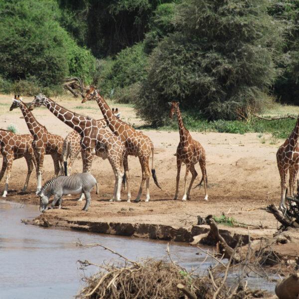 Samburu Reservaat - Kenia