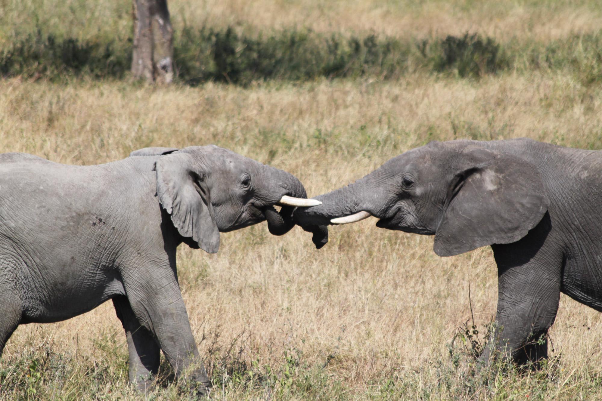 china verbiedt ivoorhandel