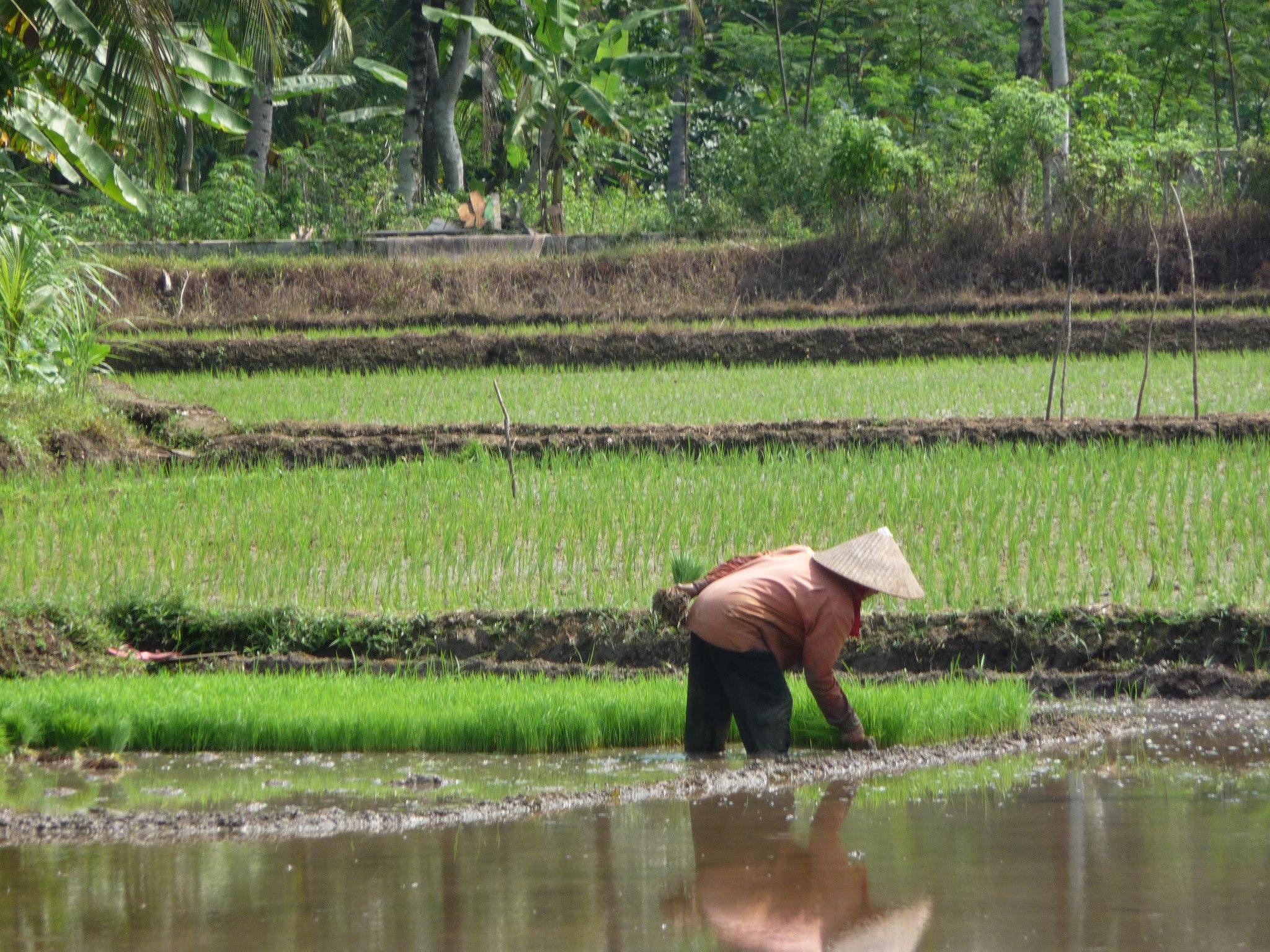 Tetebatu Lombok - Rijstvelden