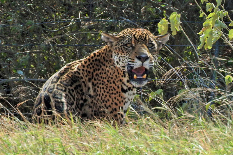Op mijn wishlist: Jaguar and Big Mammal Tour in Kaa Iya National Park Bolivia