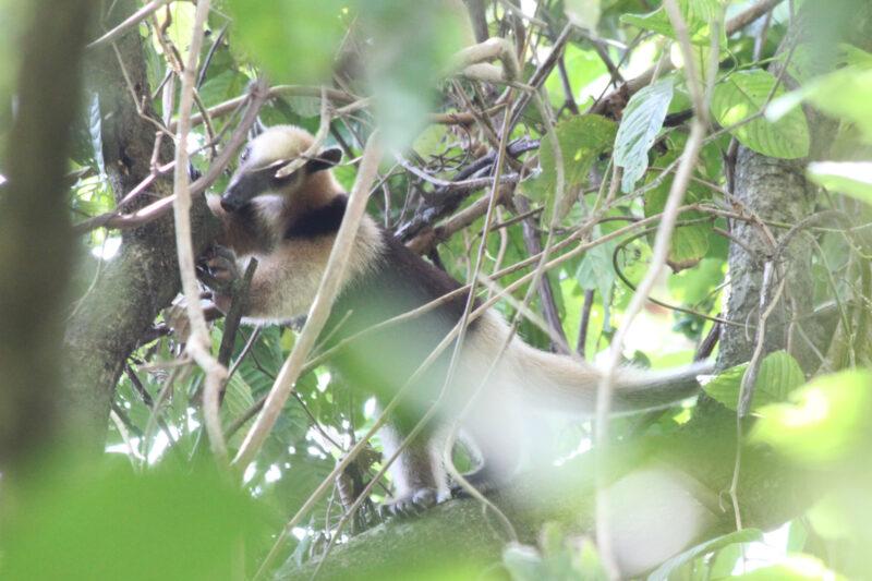 Gespotte dieren: noordelijke tamandua