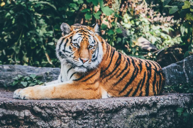 Er zijn eindelijk weer meer tijgers geteld