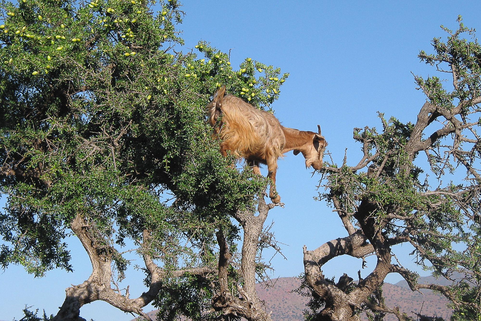 Op mijn wishlist: vliegende geiten in Marokko