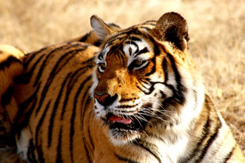 Tijgers weggehaald uit de Tiger Temple in Thailand