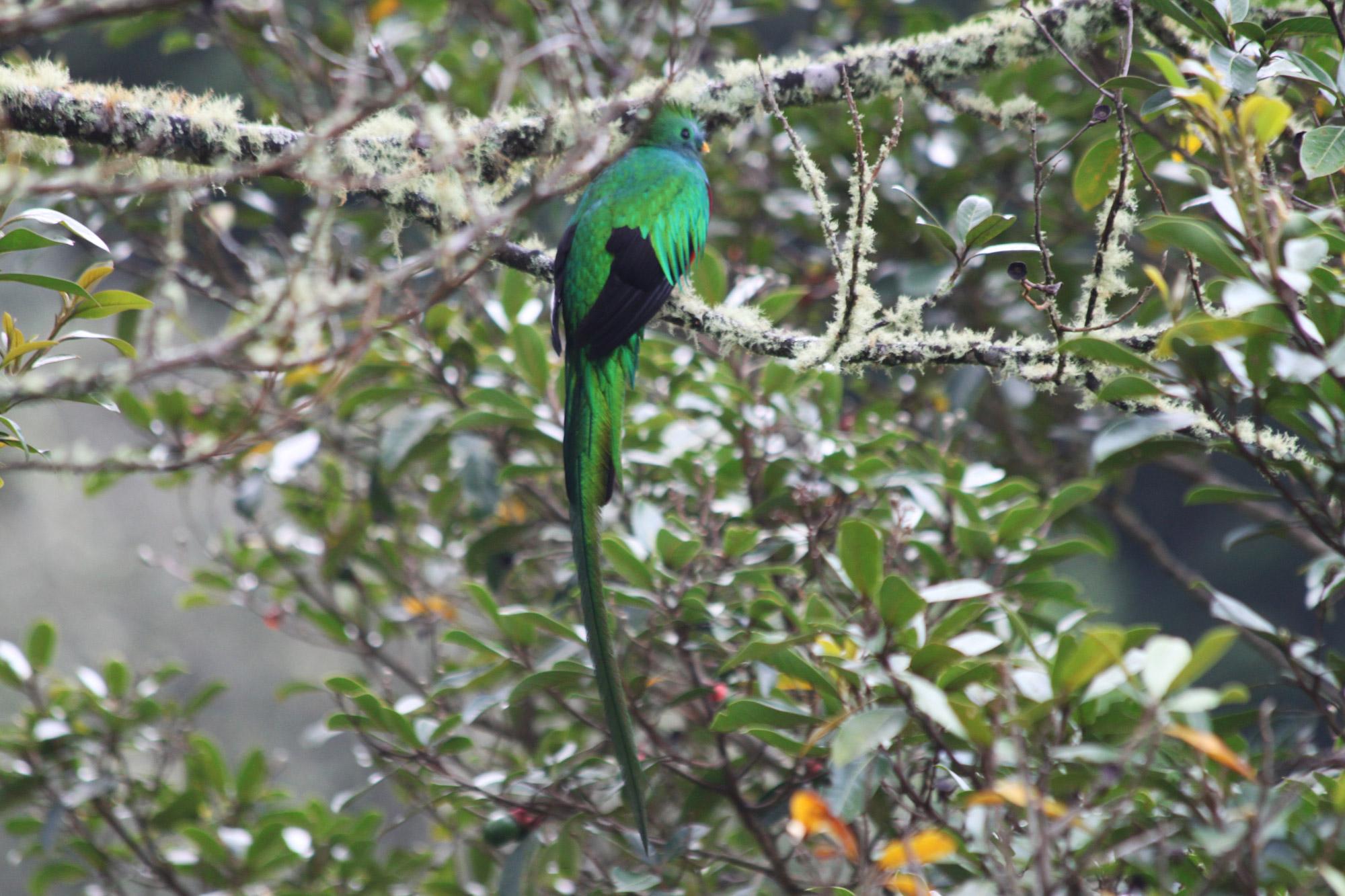 Costa Rica 2014 - dag 22 - Quetzals spotten