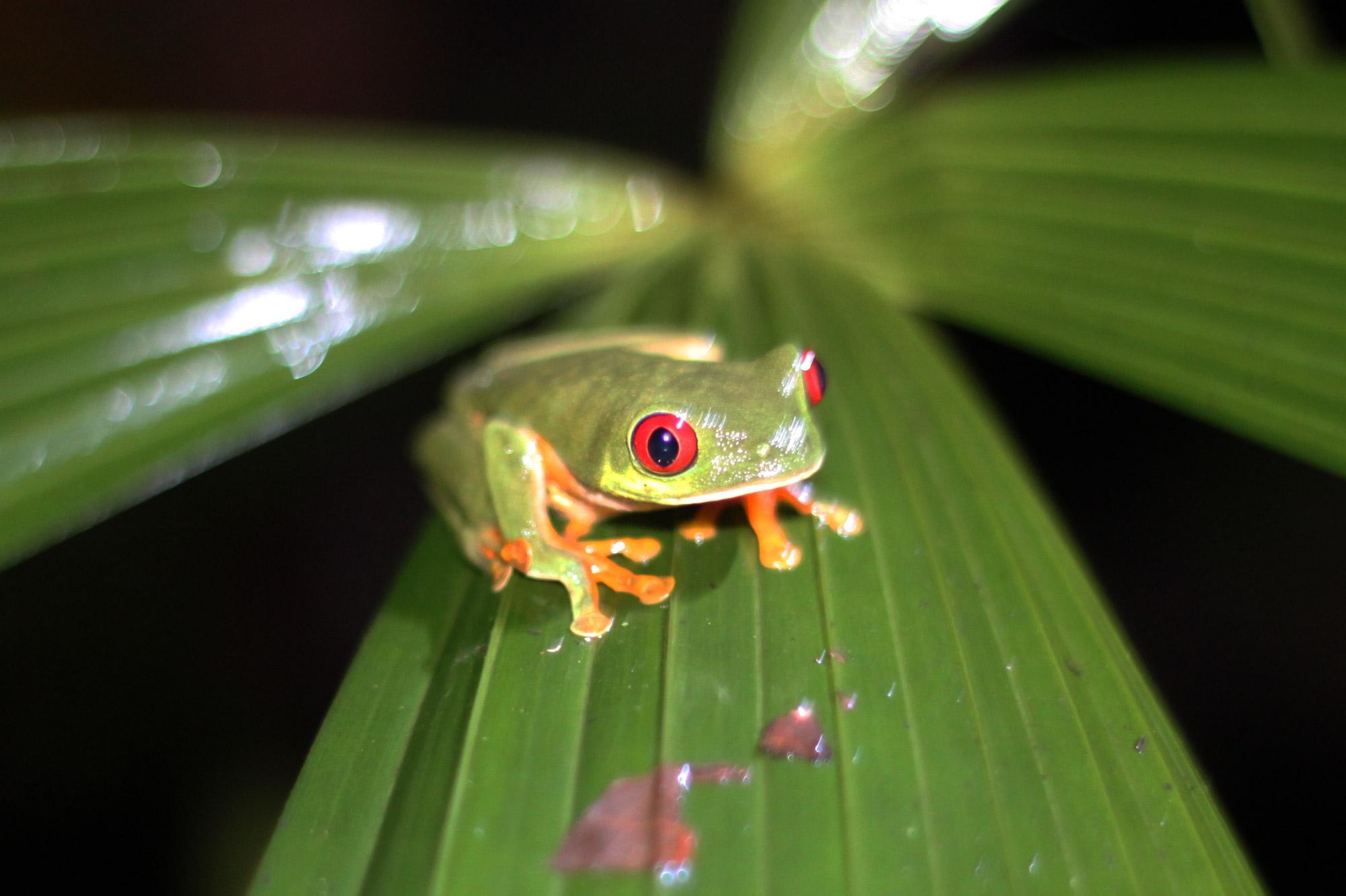 5 reden om naar Costa Rica te reizen - Dieren spotten: gifkikker