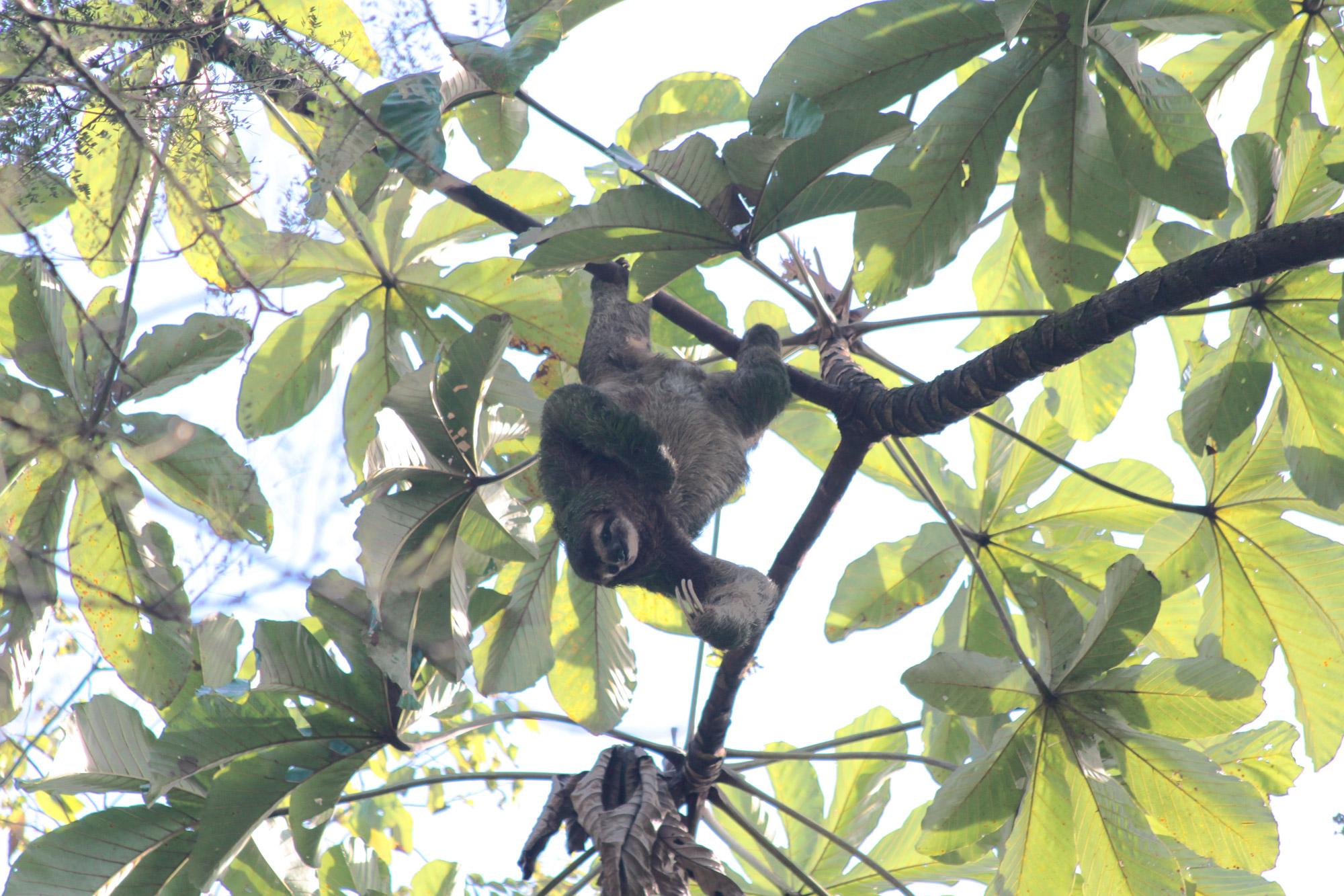 5 reden om naar Costa Rica te reizen - Dieren spotten: luiaard