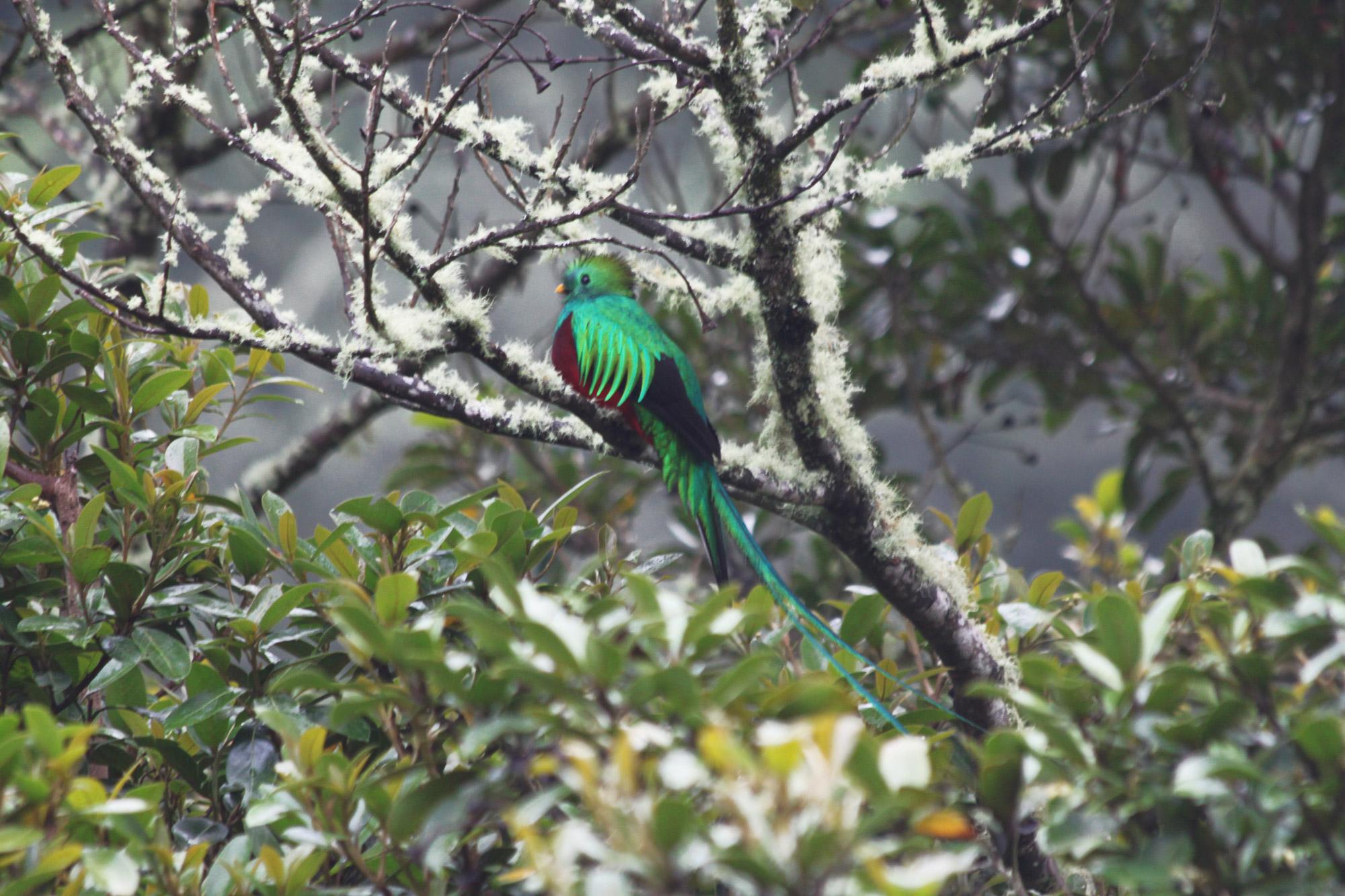 5 reden om naar Costa Rica te reizen - Dieren spotten: Quetzal