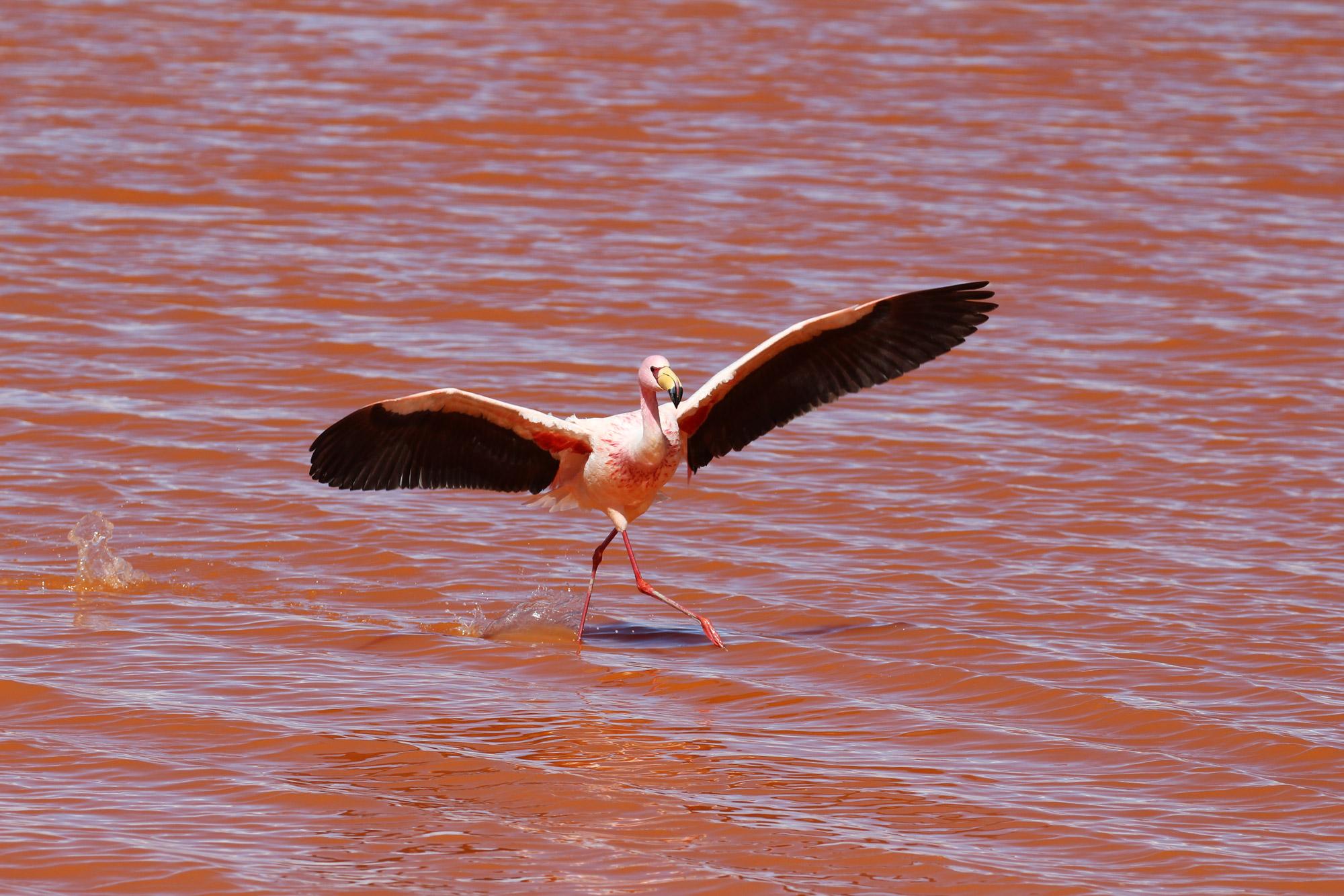 Reisverslag Bolivia: Four Days Of Fantasy Tour - Dansende flamingo bij Laguna Colorada