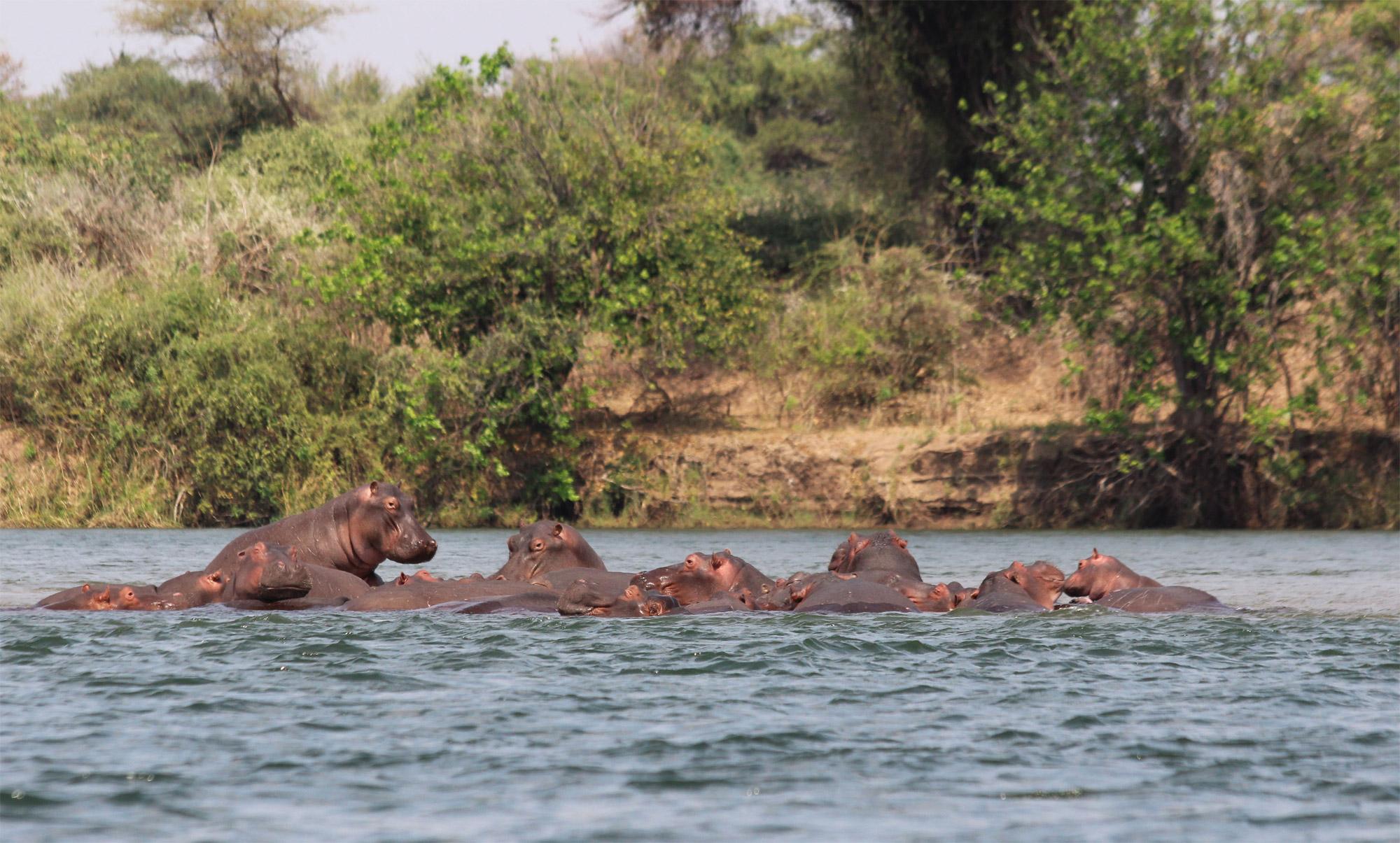 Slalommen om nijlpaarden - een avontuur op de machtige Zambezi rivier - Nijlpaarden in de Zambezi rivier
