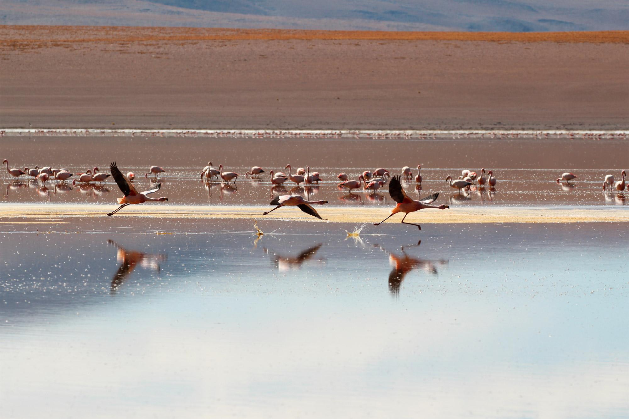 De gaafste dieren van Bolivia: #13 Flamingo