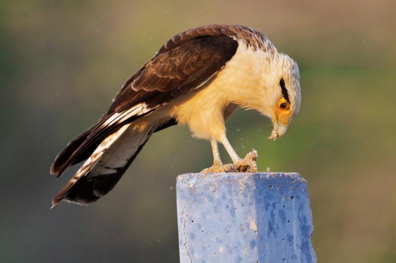 De gaafste dieren van Bolivia: #24 Caracara