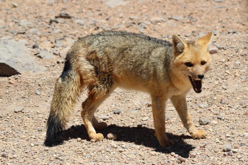De gaafste dieren van Bolivia: #6 andesvos