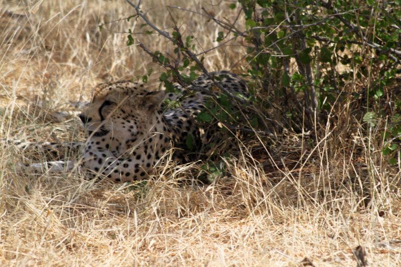 Foto en het verhaal: Een cheetah op enkele meters afstand