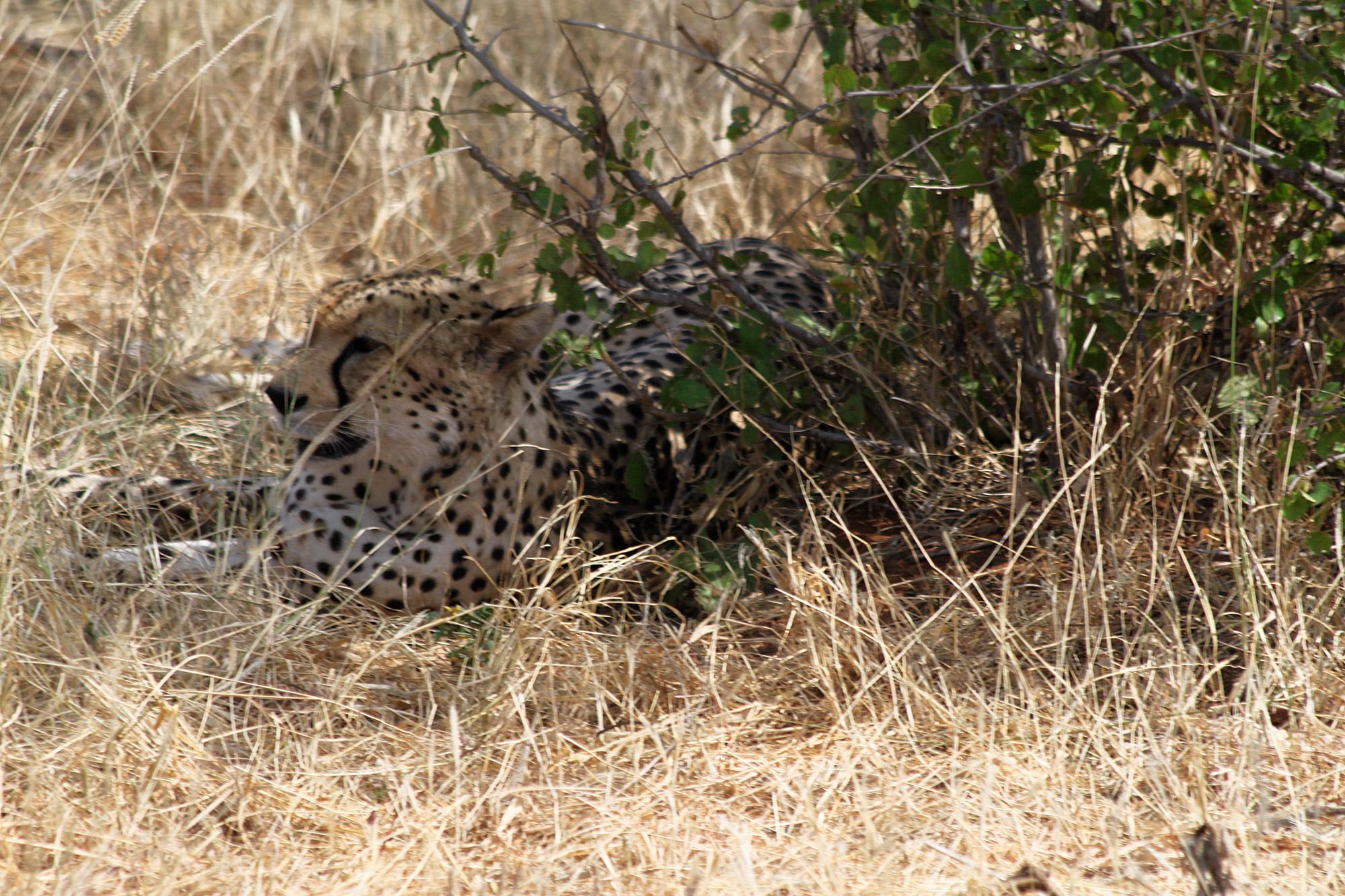 foto en het verhaal een cheetah op enkele meters afstand