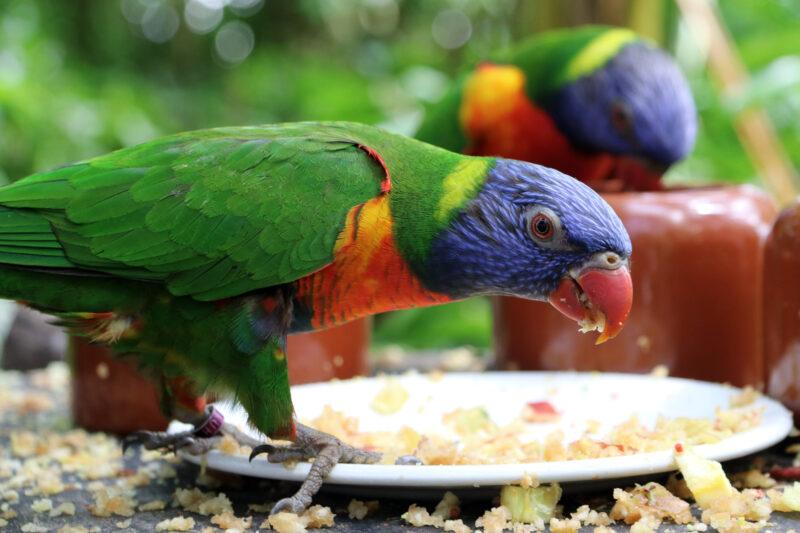 Tropische Vlindertuin Klein Costa Rica - Lori van de blauwe bergen