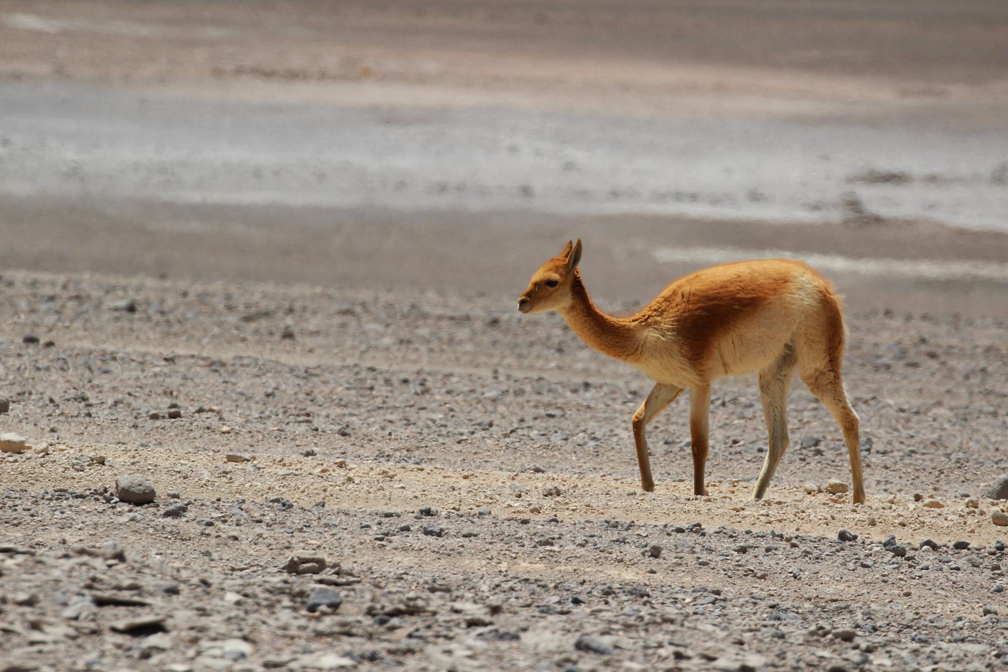 Gespotte dieren: vicuña