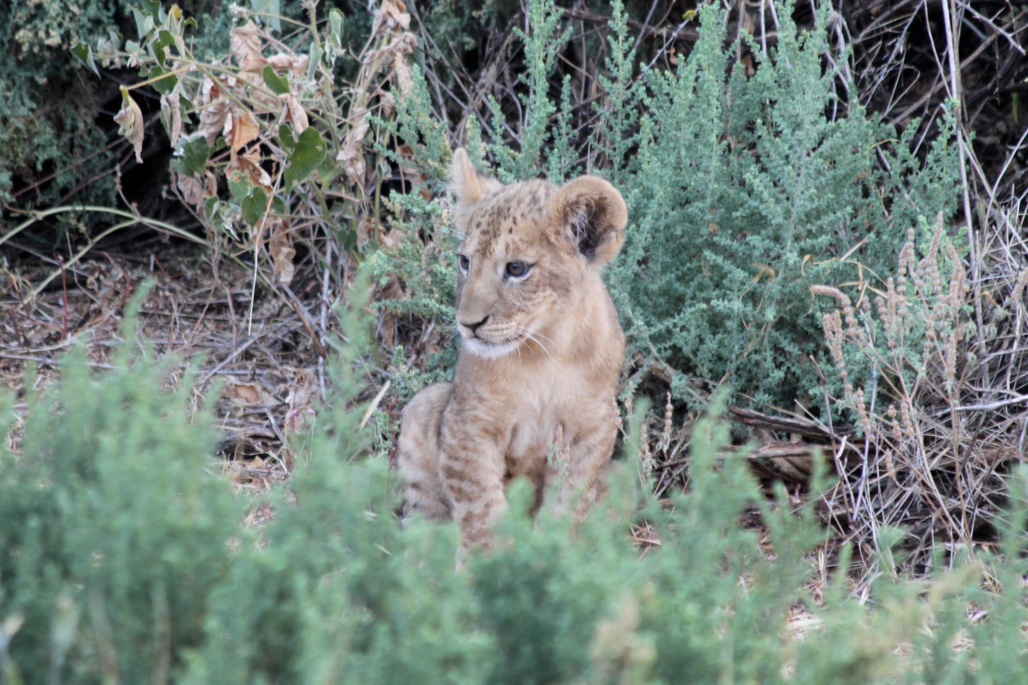 Werelddierendag, 9 bijzondere ontmoetingen met dieren - Leeuwenwelpje