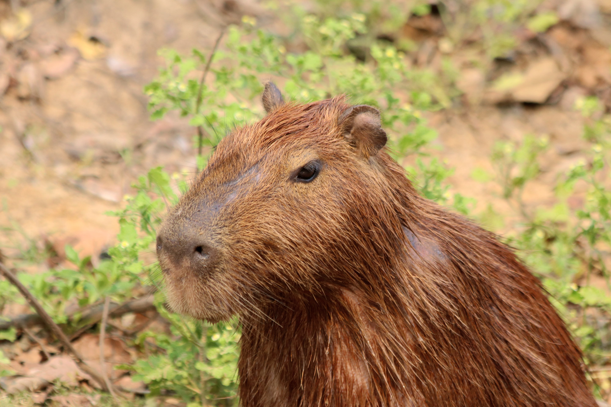 Bolivia 2016 - Dag 19 - Een capibara in de Pampas