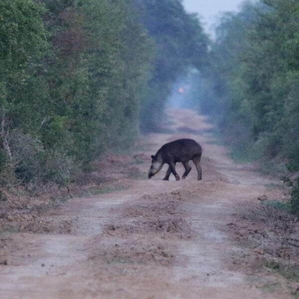 Bolivia 2016 - Dag 5 - Een tapir in het Parque Nacional Gran Chaco del Kaa-Iya