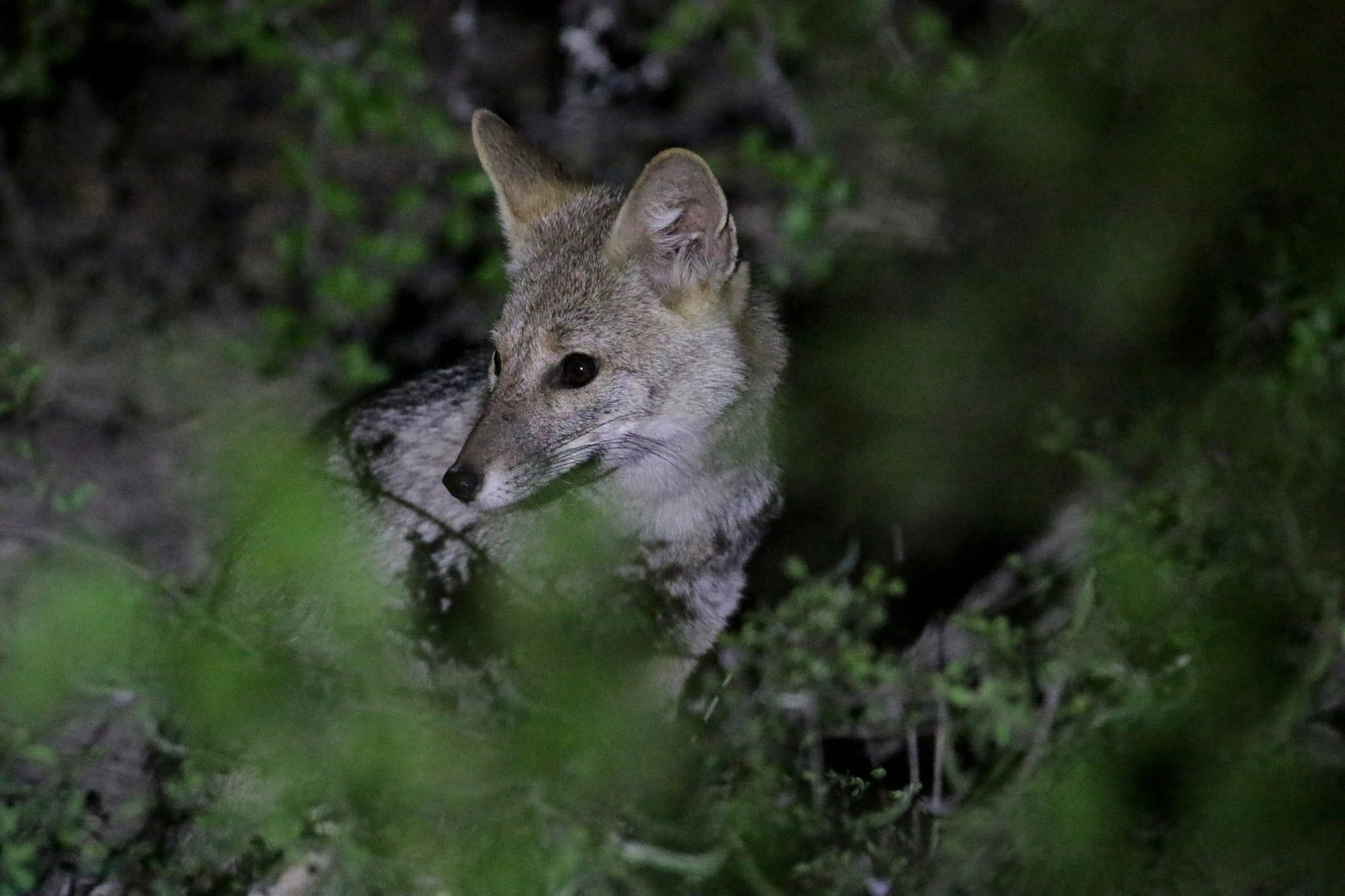 Bolivia 2016 - Dag 6 - Een vosje in het Parque Nacional Gran Chaco del Kaa-Iya