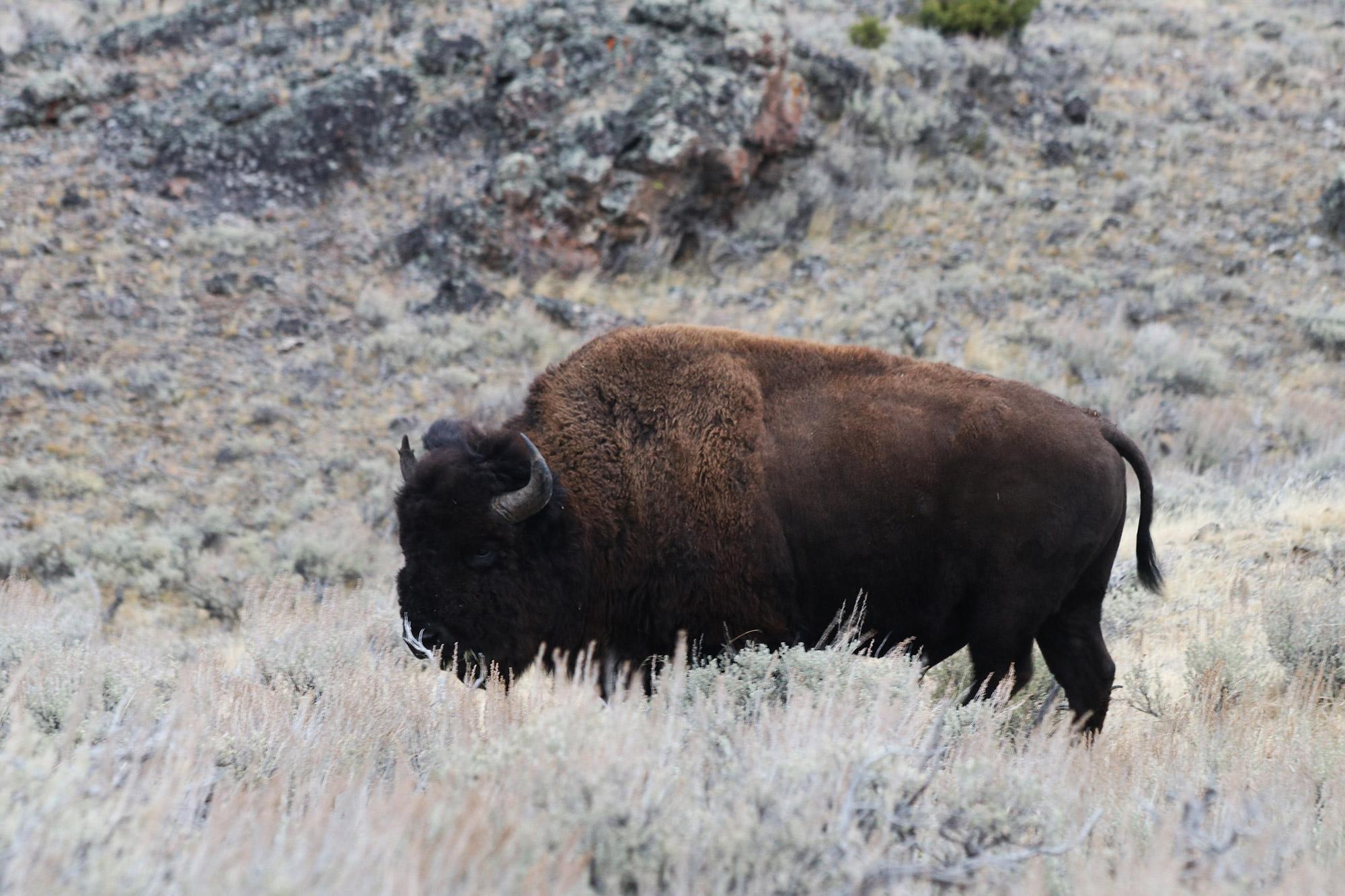 Amerika dag 4 - Yellowstone National Park - Blacktail Plateau Drive - Bizon