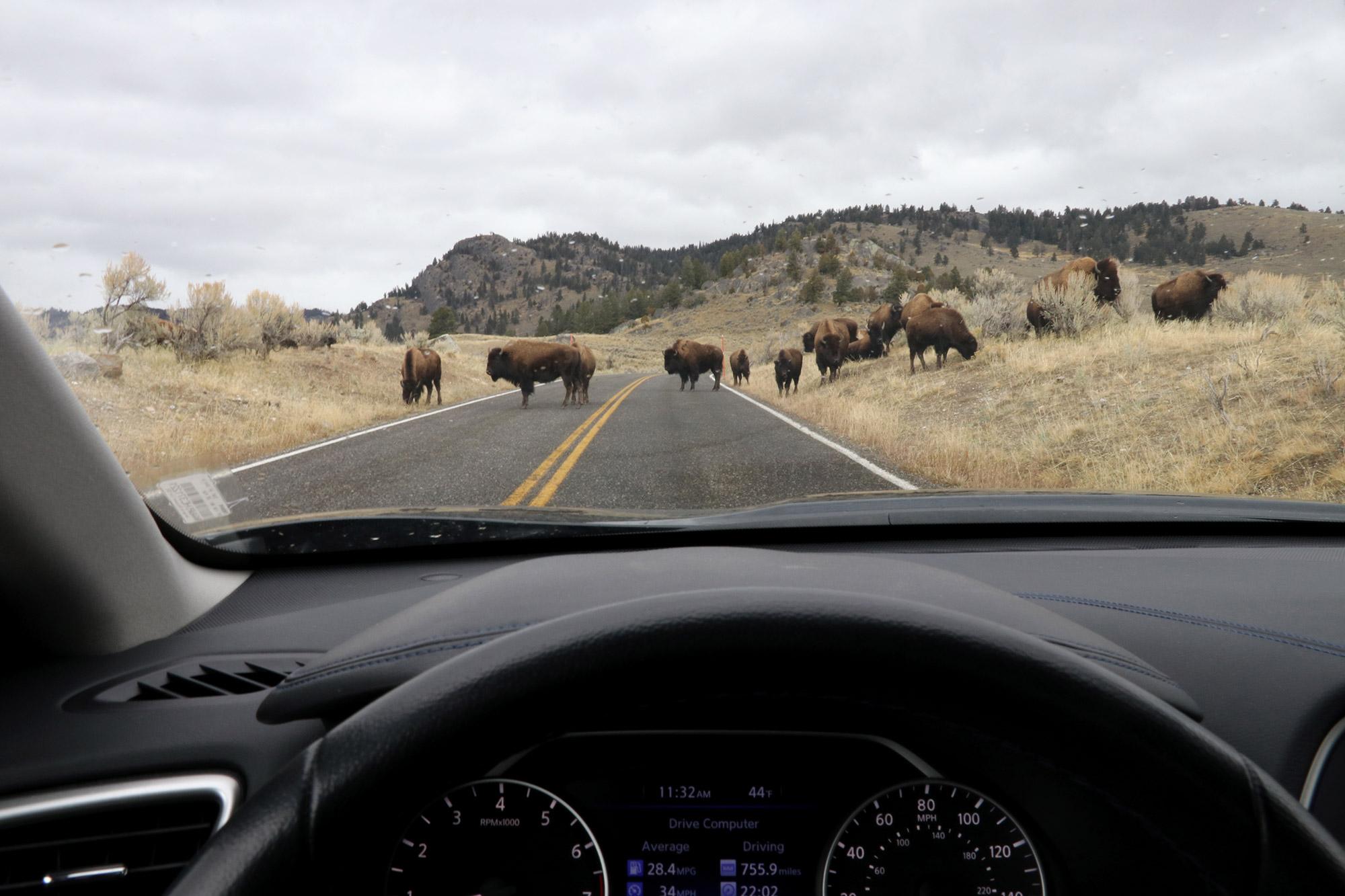 Amerika dag 4 - Yellowstone National Park - Bizons op de weg