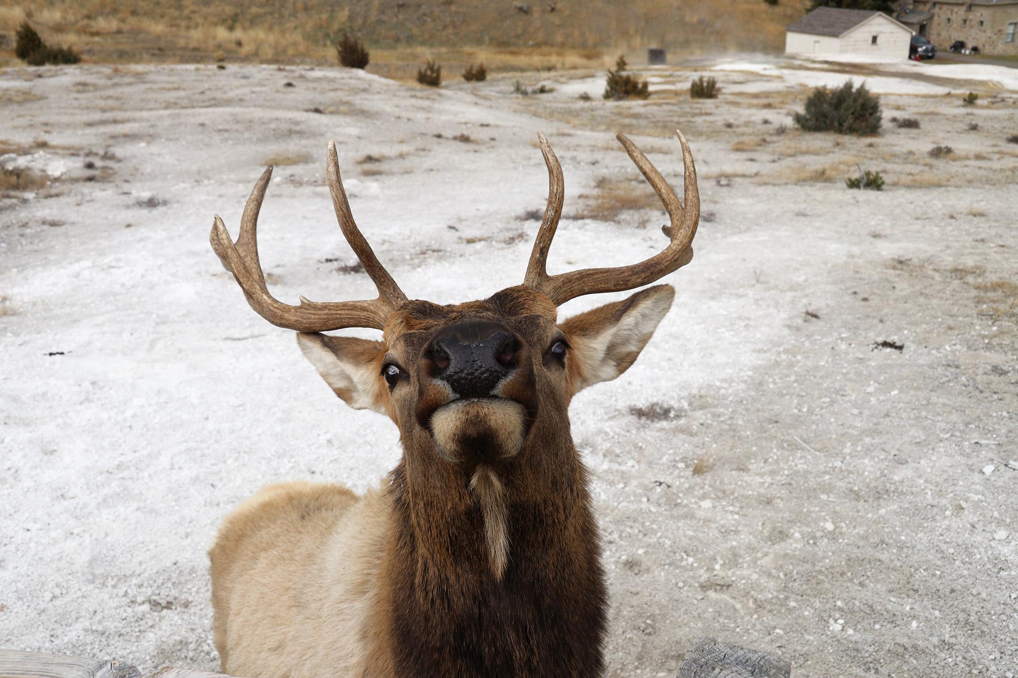 Amerika dag 4 - Yellowstone National Park - Mammoth Hot Springs - Wapiti