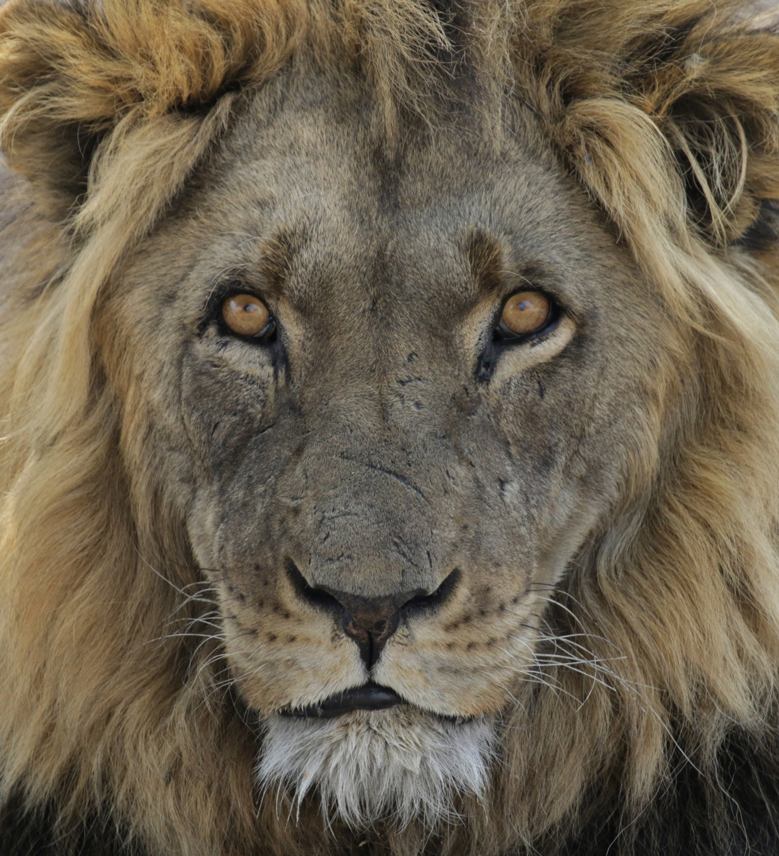 Botswana: Central Kalahari Game Reserve - Leeuw