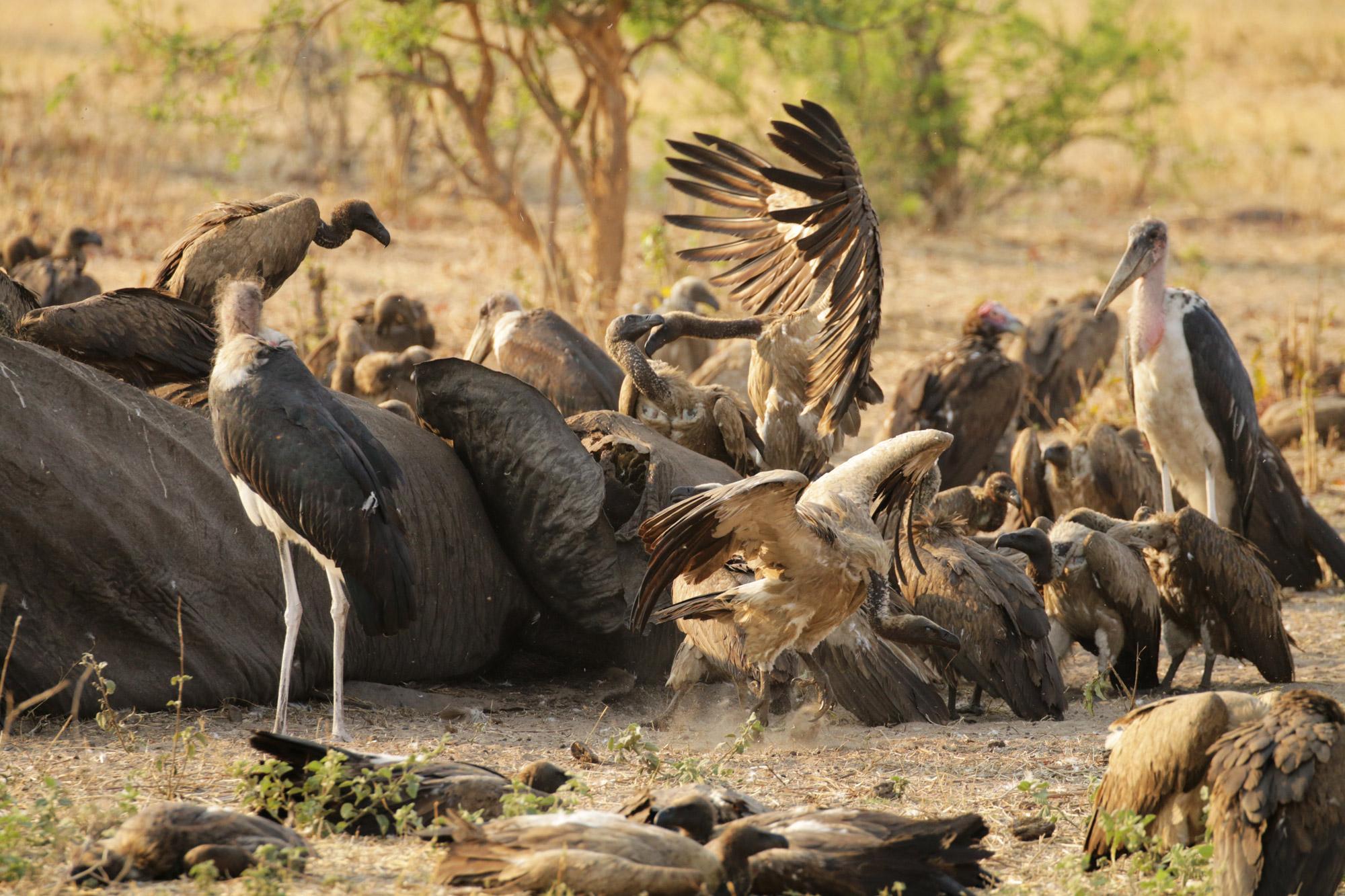 Botswana: Chobe National Park - Gieren