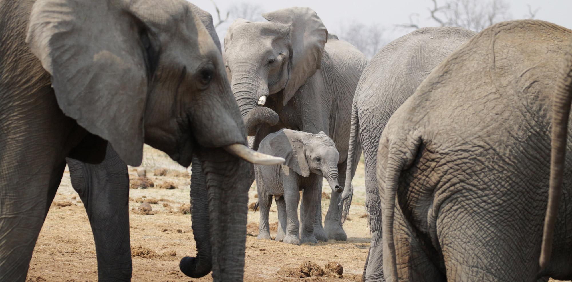 Chobe National Park - Olifanten