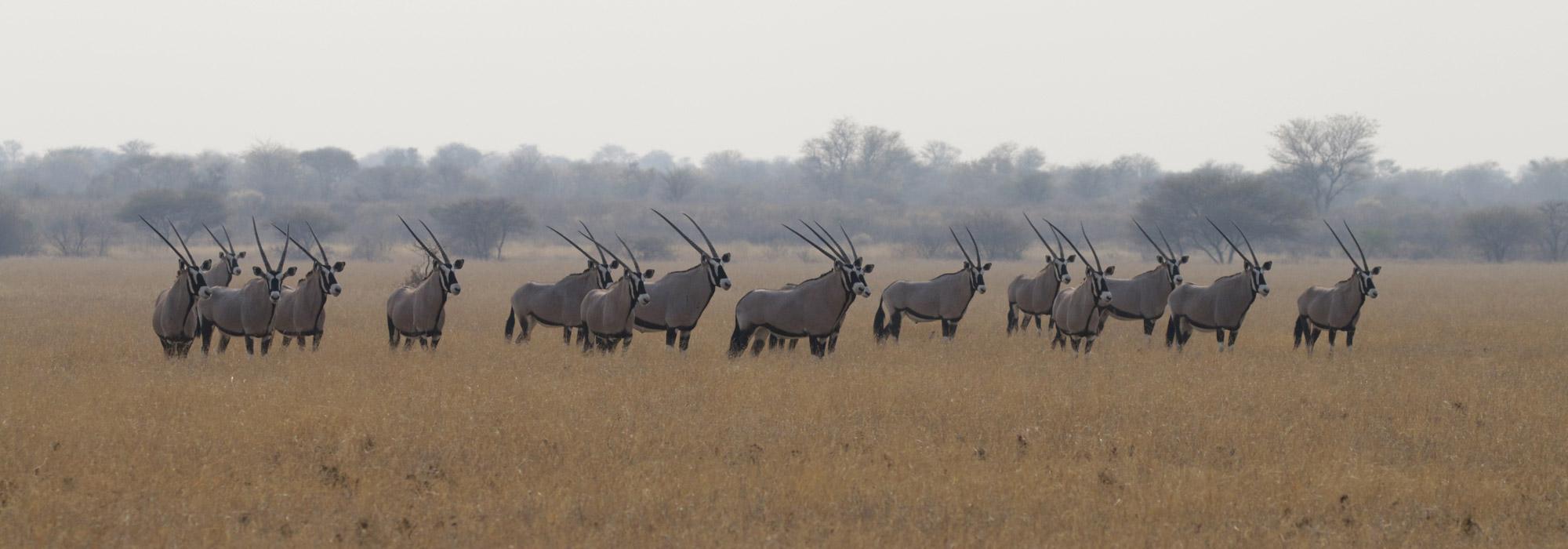 Botswana: Kalahari Game Reserve - Oryx