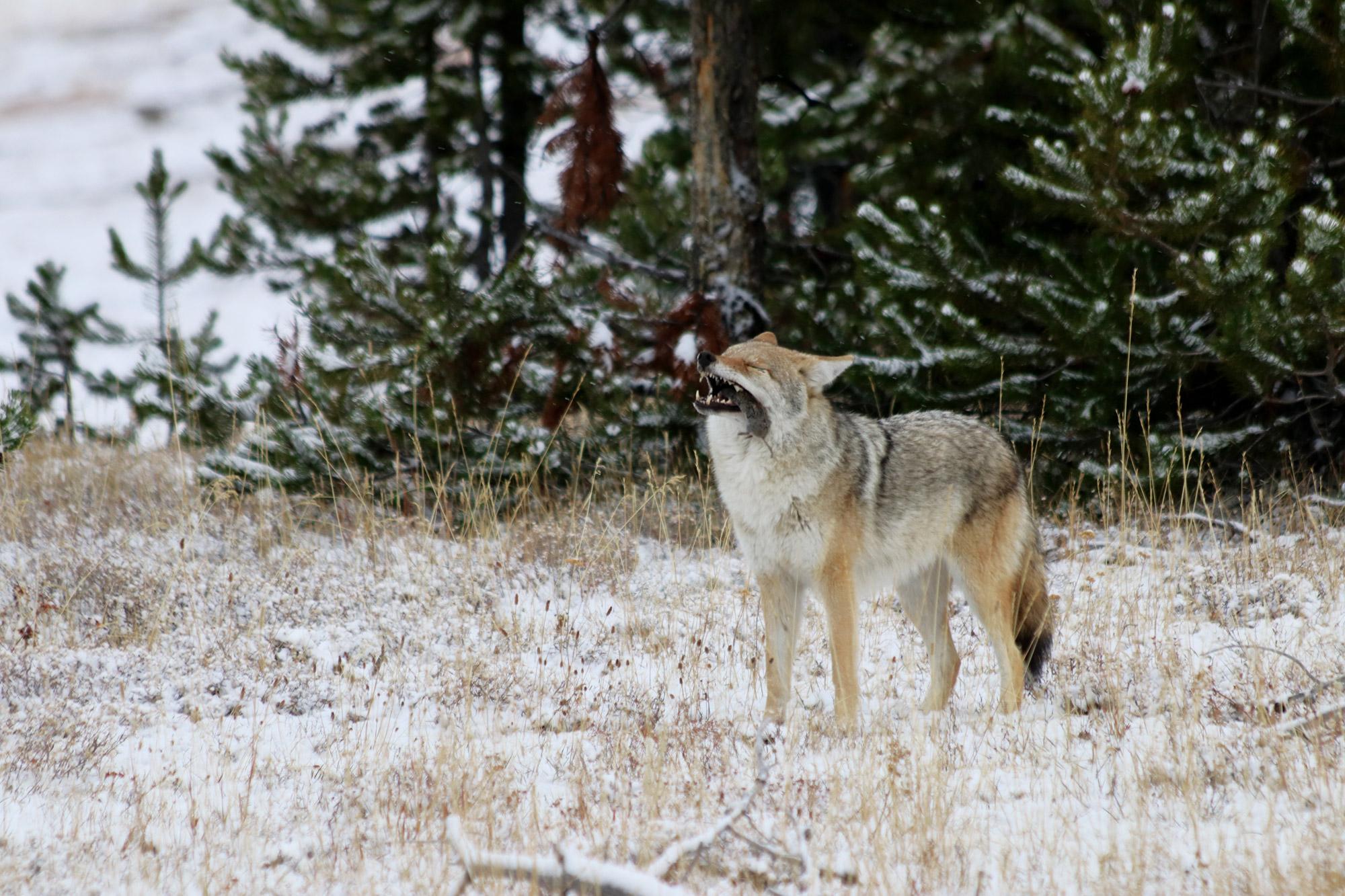 Mooiste reisfoto's van 2017 - Coyote