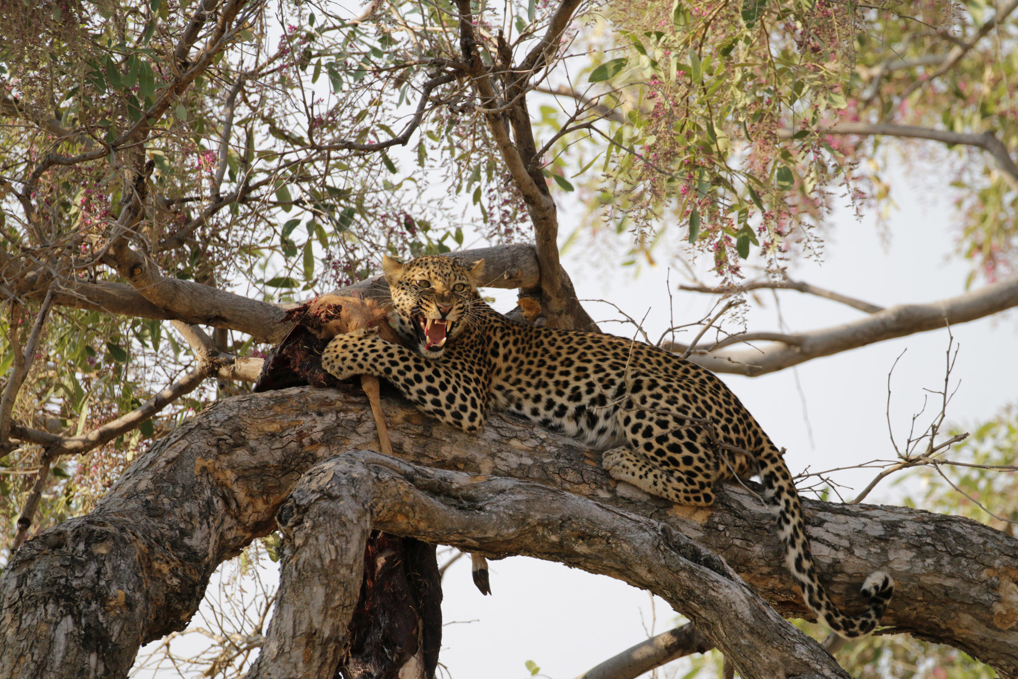 Moremi Game Reserve - Luipaard