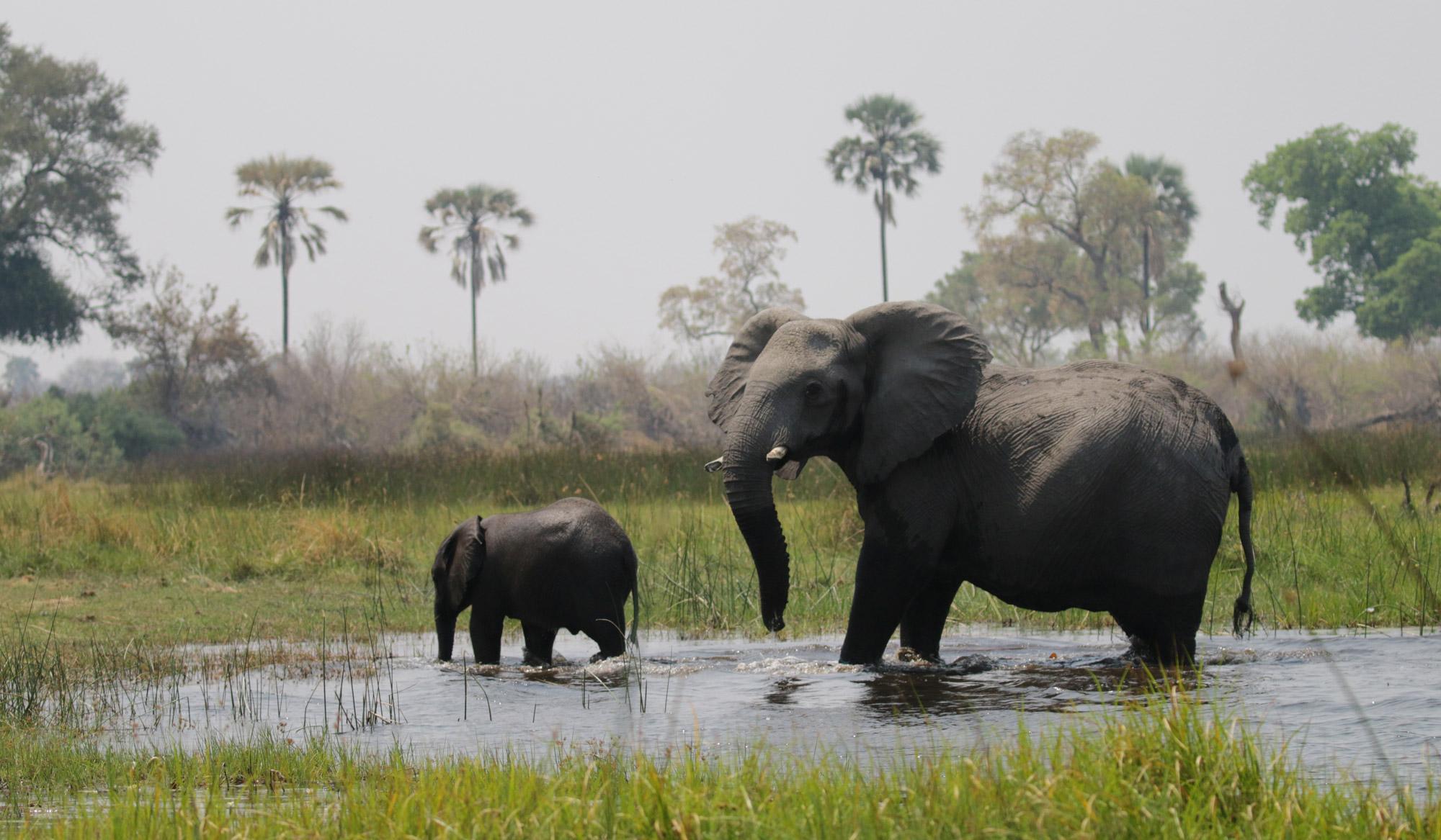 Botwana; Okavango Delta - Olifanten