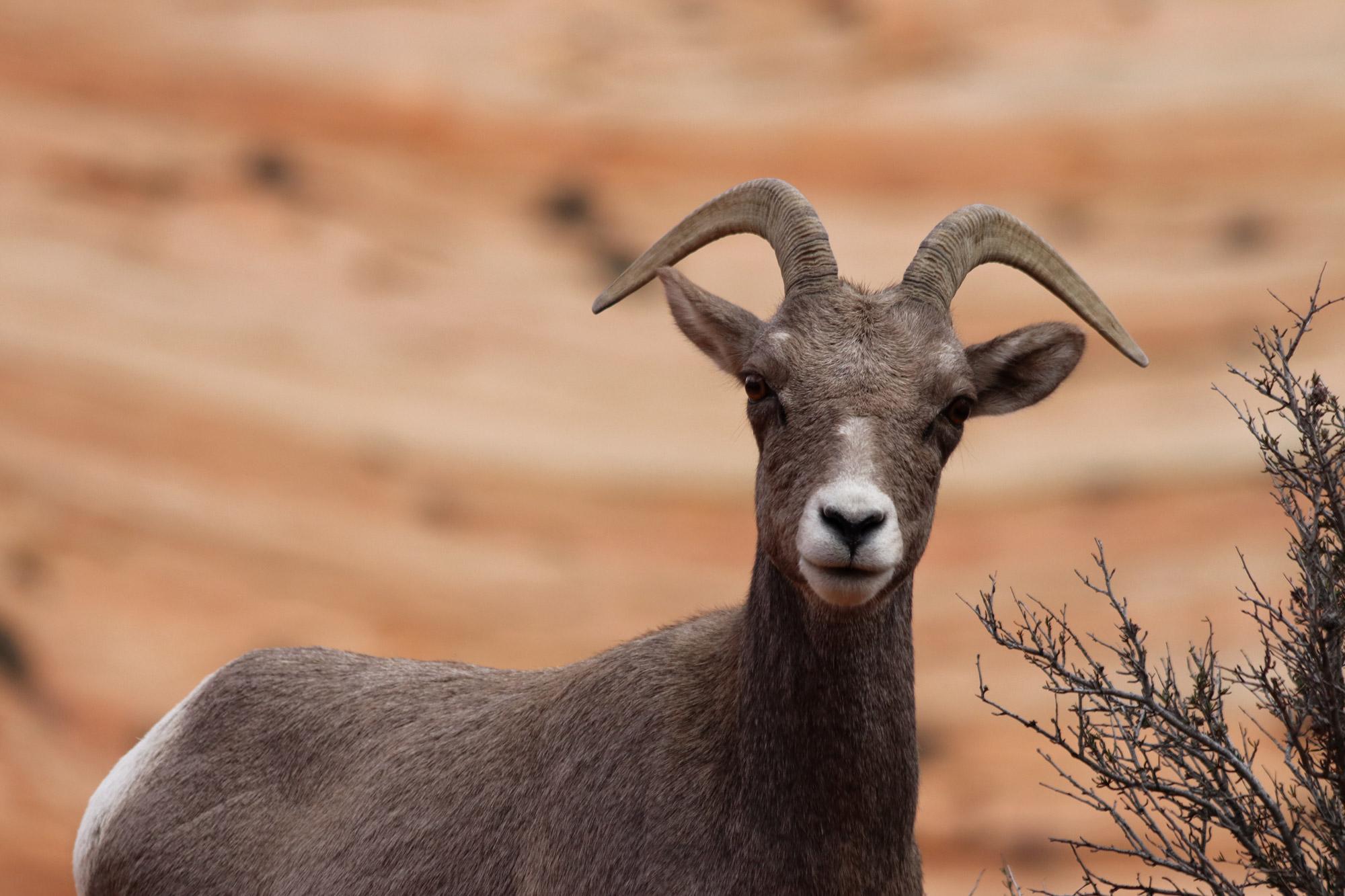 Amerika dag 16 - Zion National Park - Dikhoornschaap