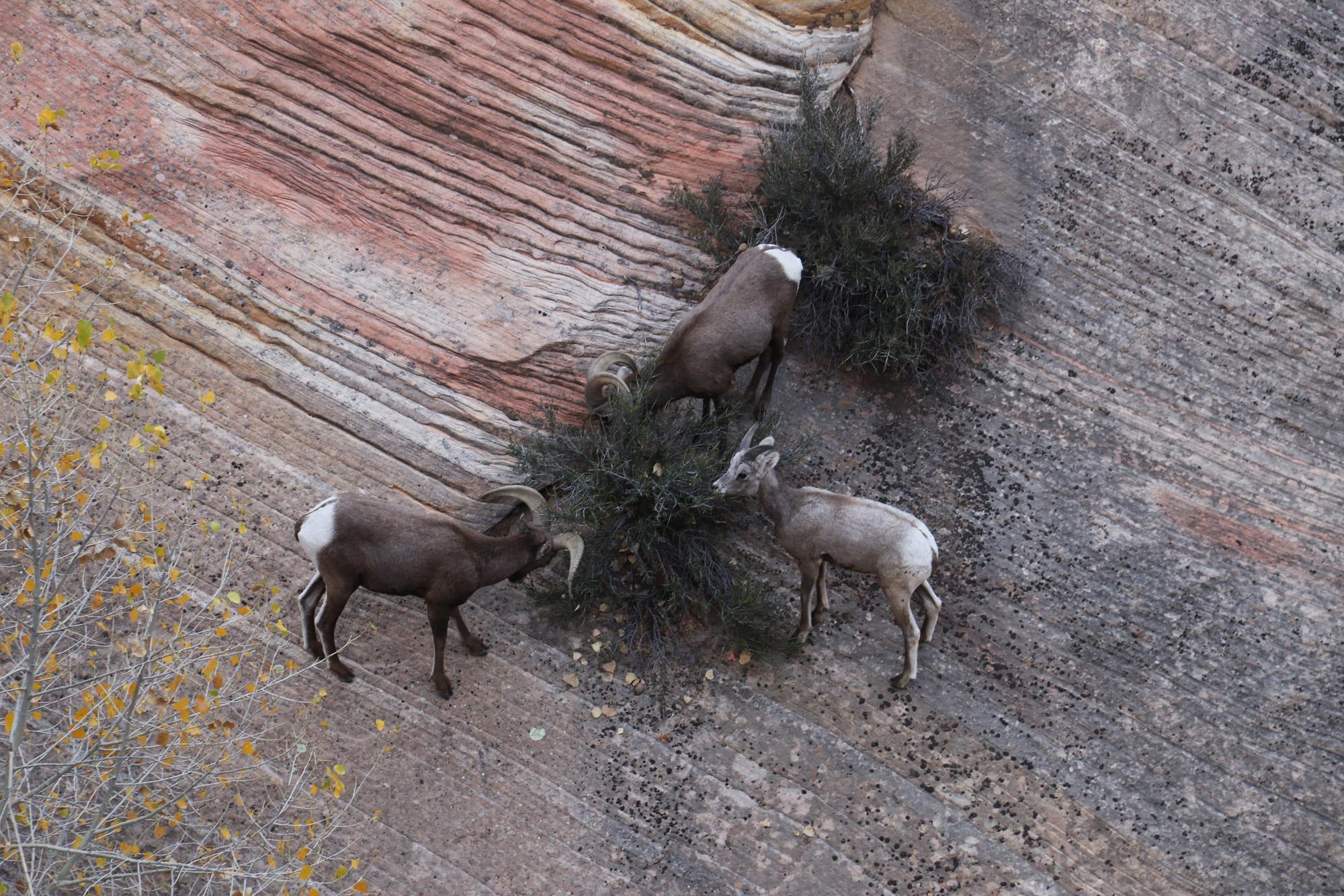 Amerika dag 15 - Zion National Park - DIkhoornschapen