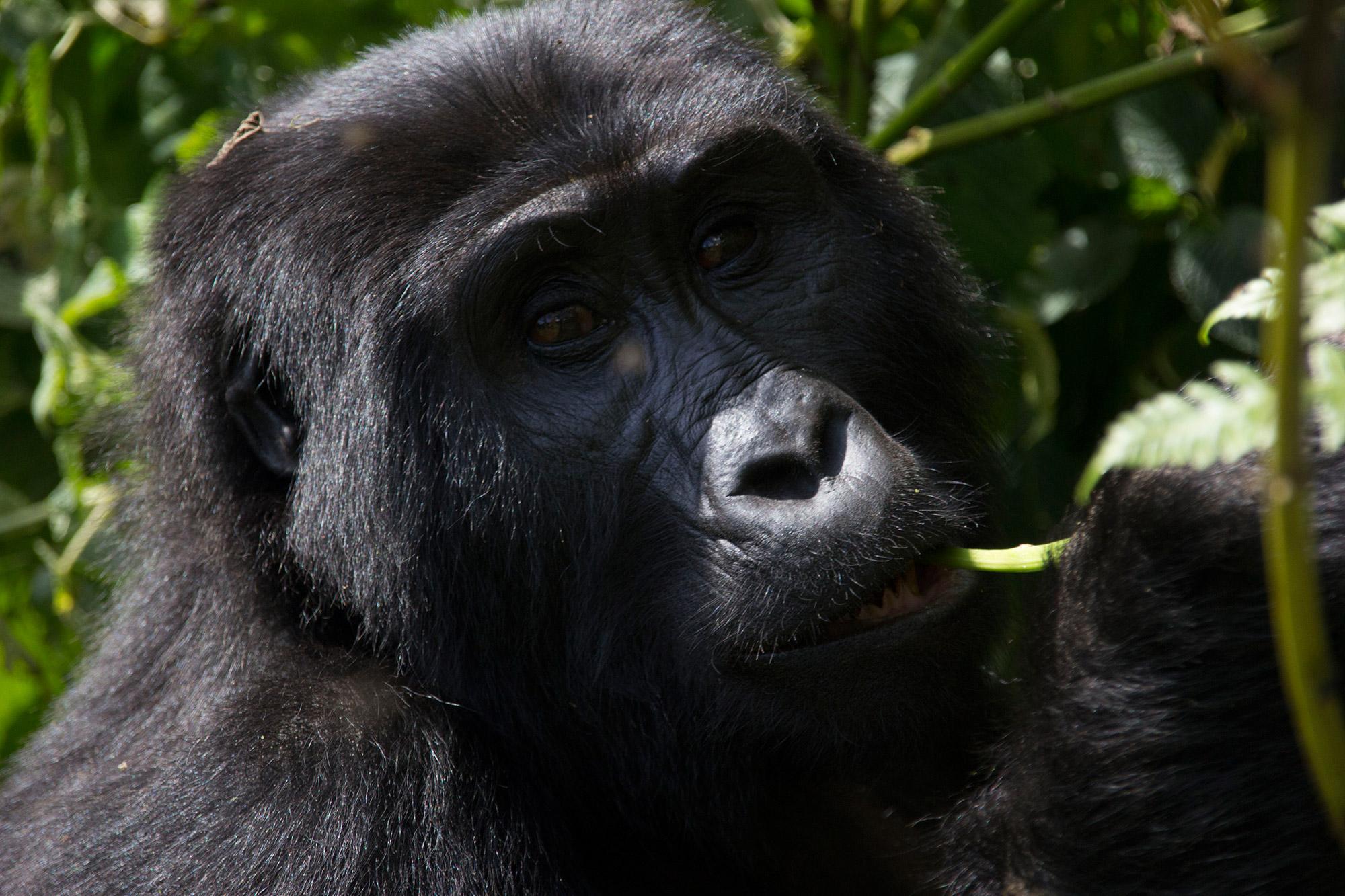 De volgers van Reizen & Reistips: Eric en Claudia - Berggorilla in Oeganda