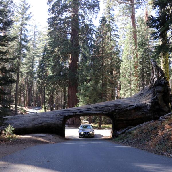 Tunnel Log - Sequoia National Park - Verenigde Staten