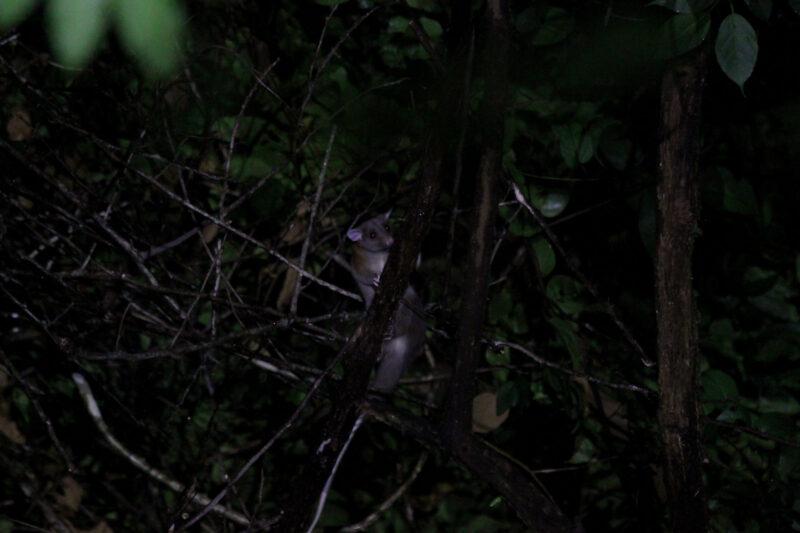Gespotte dieren: zuidelijke opossum