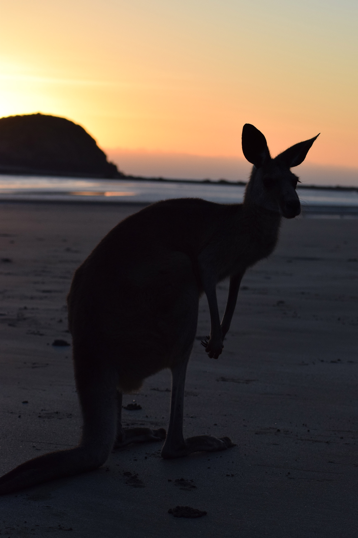 Bianca - Kangeroe op het strand