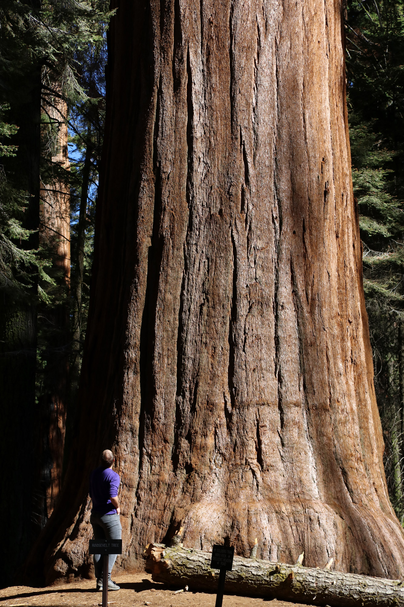 Amerika dag 19 - Sequioa National Park - Roosevelt Tree