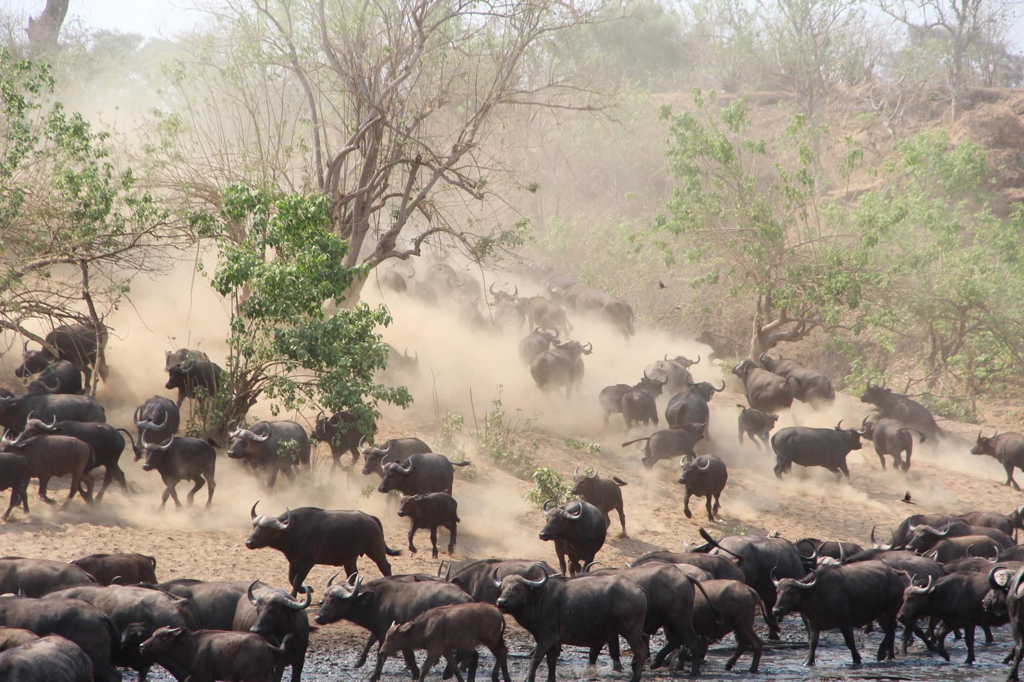 Noreen - Botswana - Buffels
