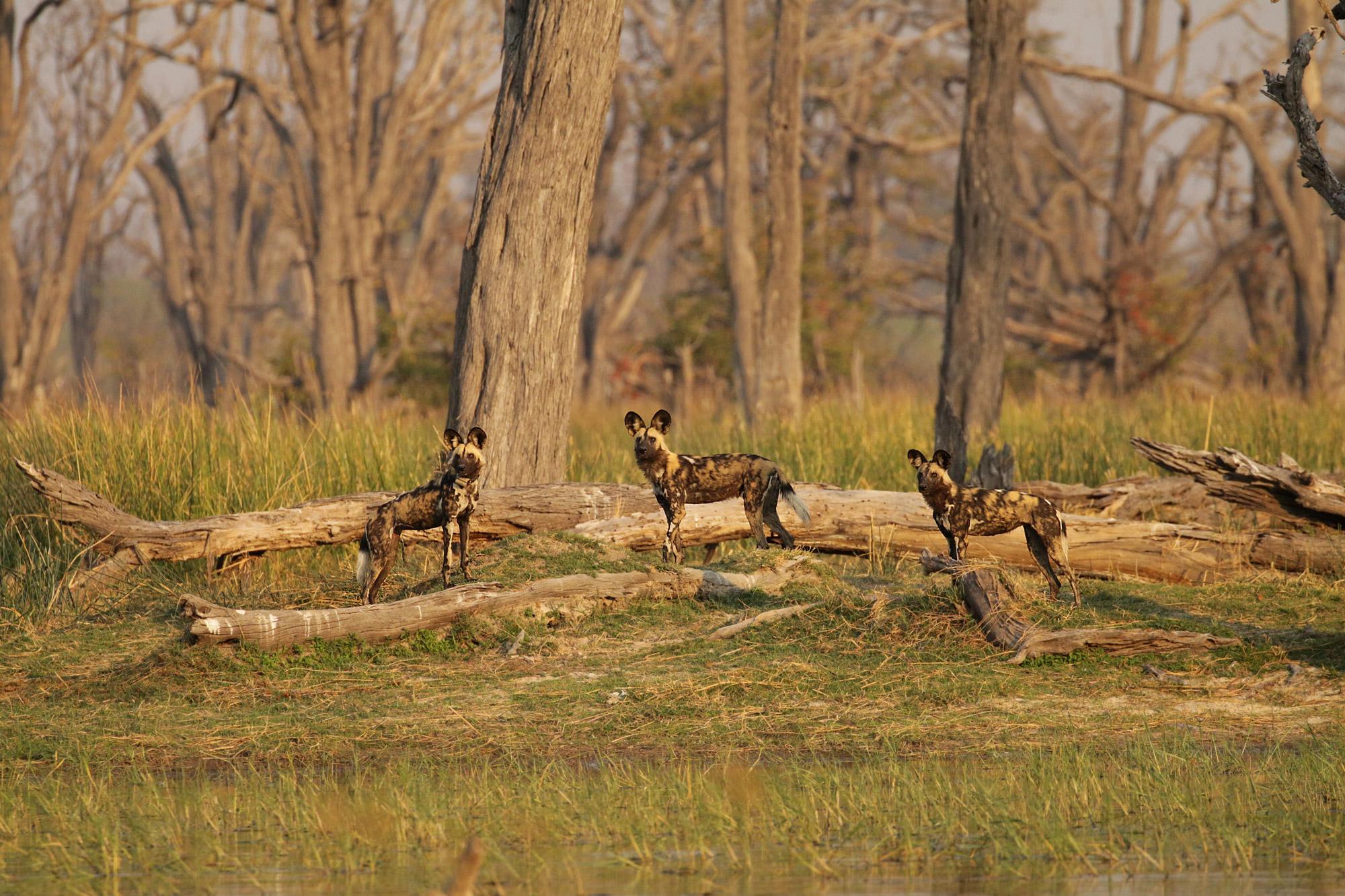 Noreen - Botswana - Wilde honden