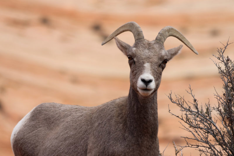 Gespotte dieren: Dikhoornschaap