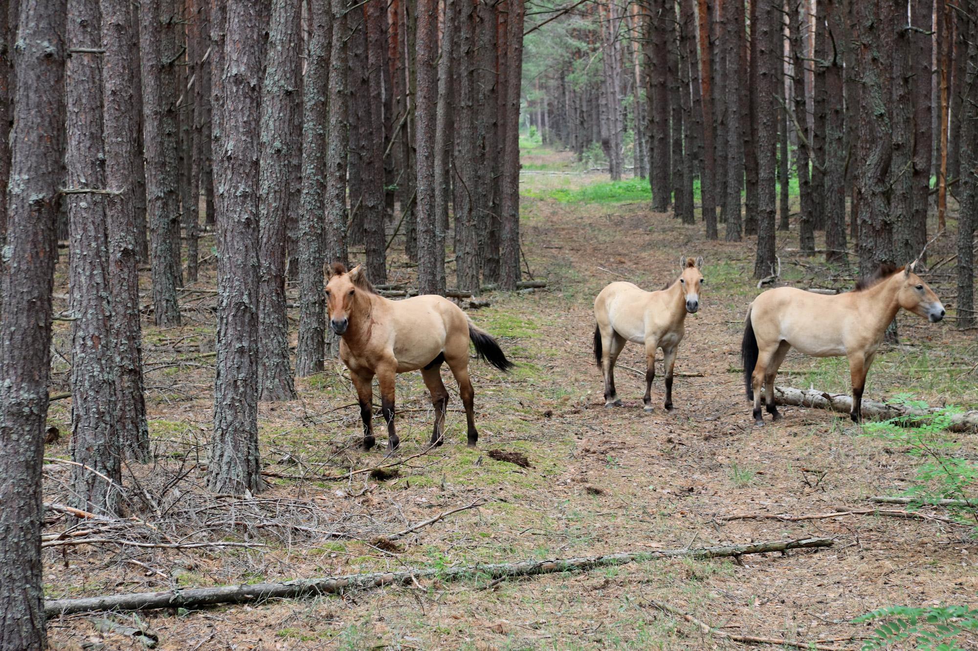 Tsjernobyl - Paarden