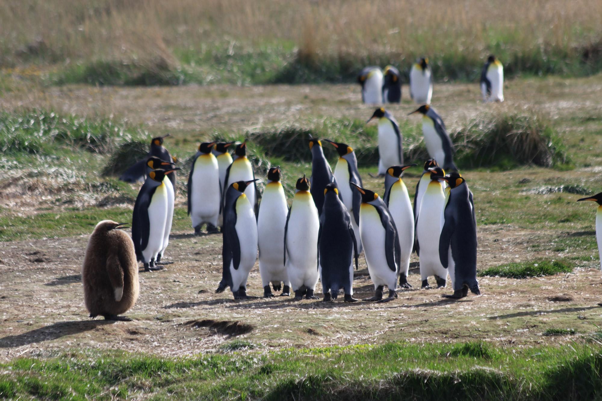 Patagonië - Pinguïno del Rey