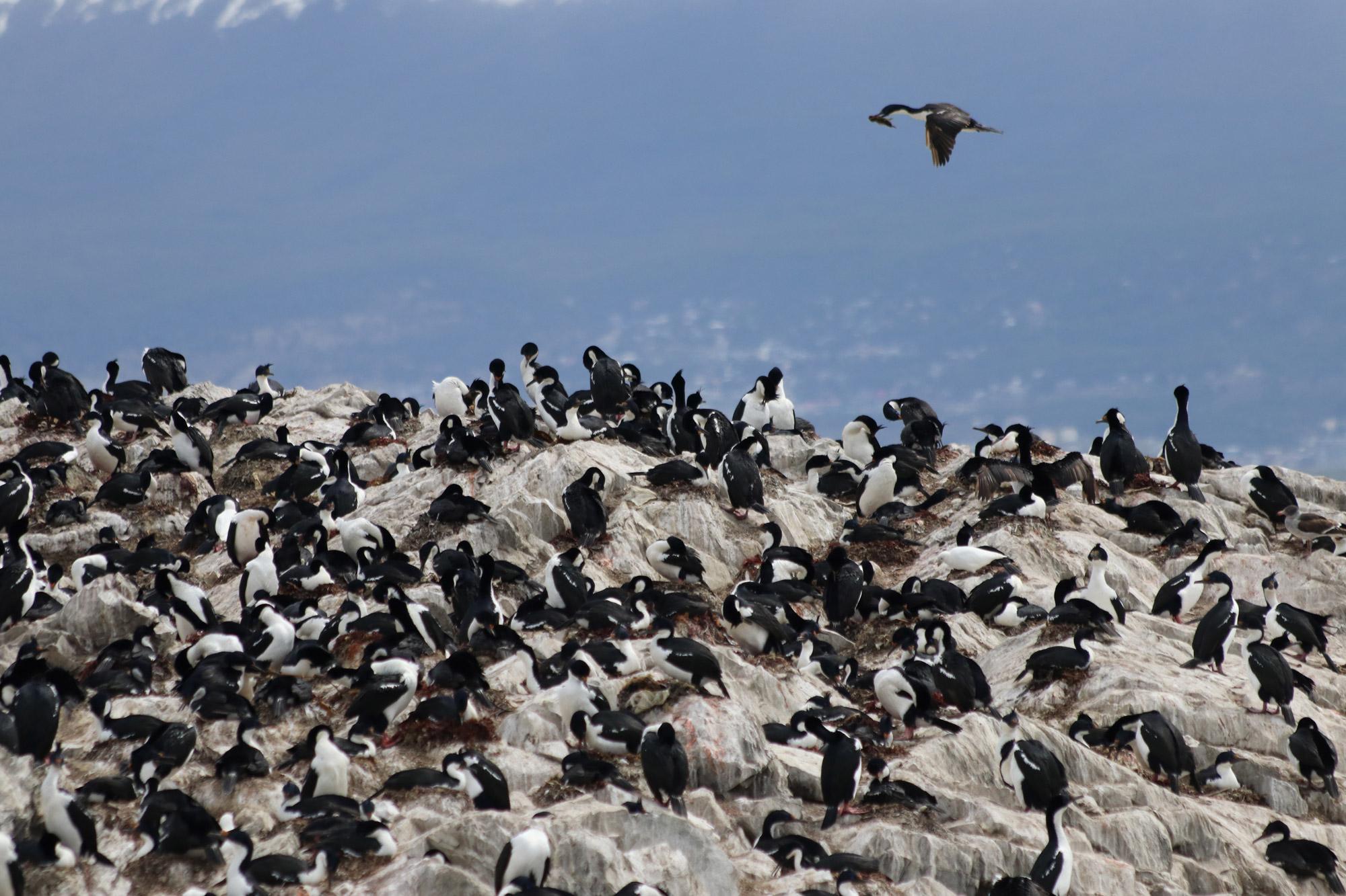 Patagonië - Beaglekanaal - Aalscholvers