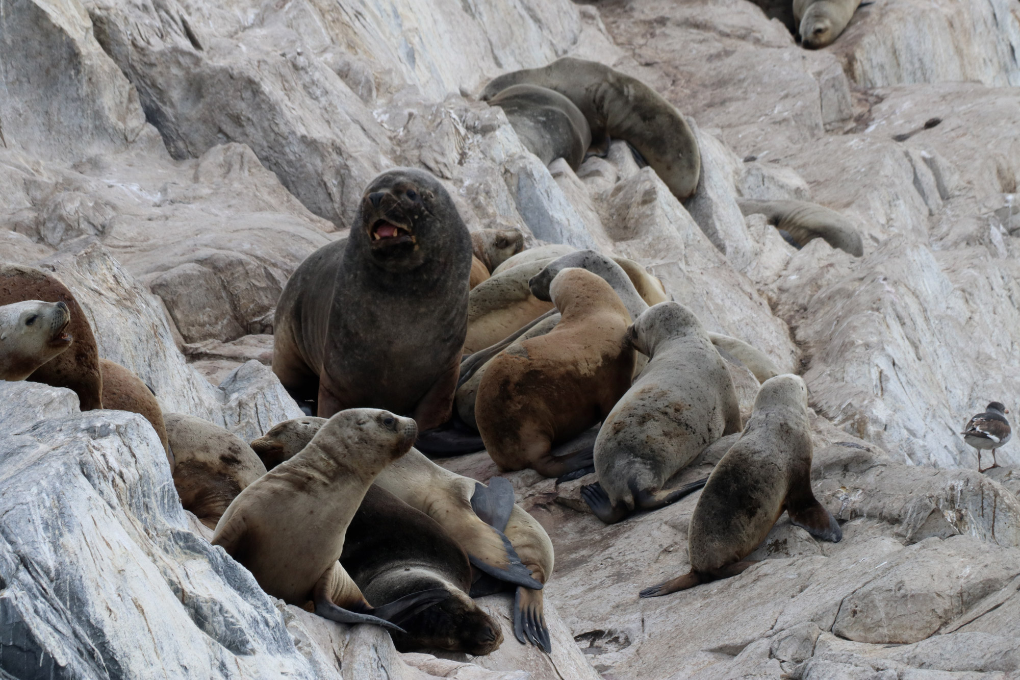 Patagonië - Beaglekanaal - Zeeleeuwen